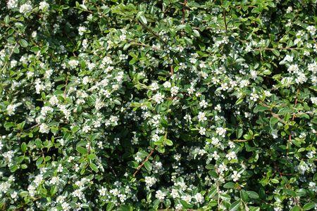 Blossoming Cotoneaster horizontalis bush in mid May