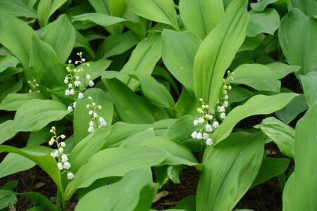 Green leaves and white flowers of Convallaria majalis in May