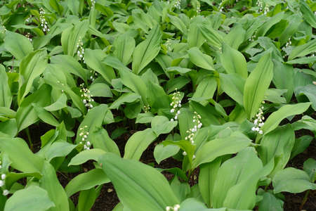 Multiple white flowers of Convallaria majalis in May