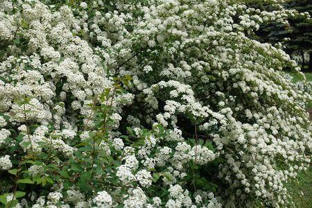 Blooming bush of germander meadowsweet in mid May