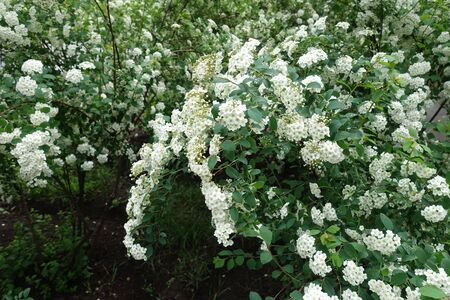 Branches of blossoming germander meadowsweet in May