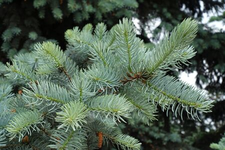 Fluffy fresh blue foliage on branches of Picea pungens in spring Фото со стока