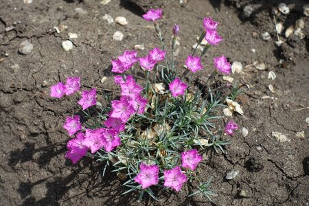 Bright pink flowers of Dianthus in May