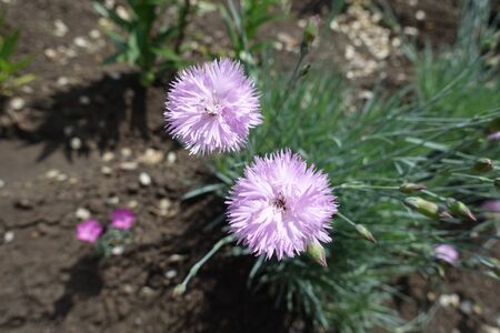 Pair of double pink flowers of Dianthus in May