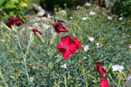 Vibrant red flowers of Dianthus in June