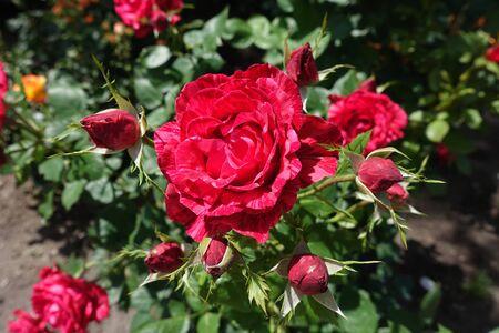 Flowering striped red rose in the garden in June