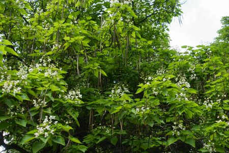 Canopy of blossoming catalpa tree in June Banque d'images