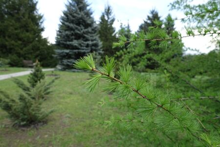 Thin branch of larch tree with fresh foliage in May Imagens