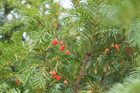 Unripe and ripe red berries on branch of yew in October