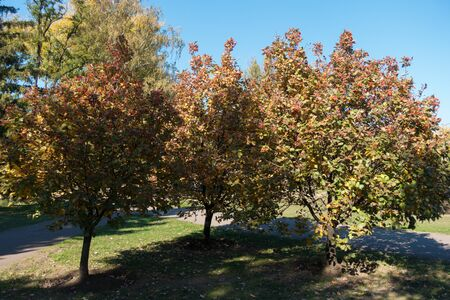 Trees of Sorbus aria with autumnal foliage and berries in October
