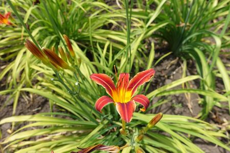 1 red and yellow flower of daylilies in June