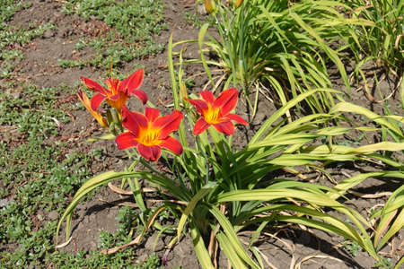 3 bright red and yellow flowers of daylily in June