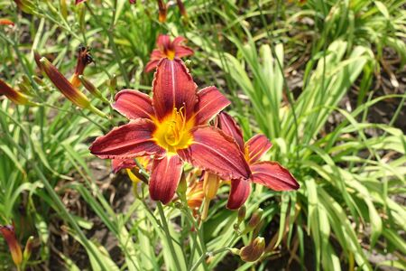 Close shot of red and yellow flowers of daylilies in June