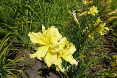 2 double yellow flowers of daylilies in June