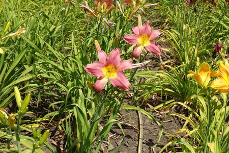 2 pastel pink flowers of daylilies in June