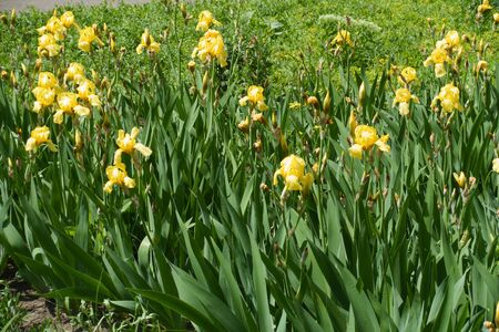 Numerous yellow flowers of bearded irises in May Imagens