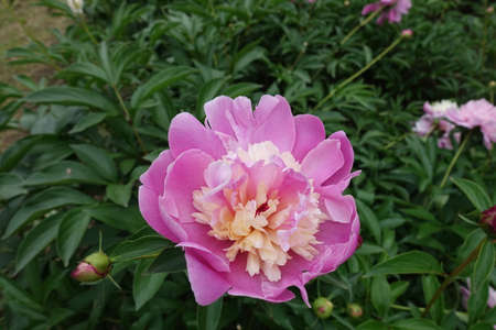 Two colored flower of Japanese style peony in May 스톡 콘텐츠