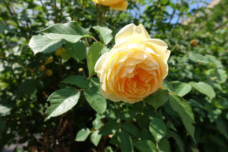 A flower of amber yellow rose in May