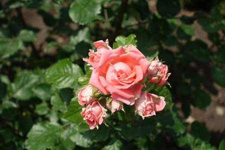 Buds and pink flower of rose in June