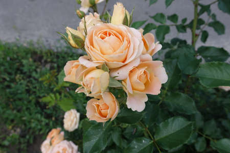 Buds and light orange flowers of rose in May 스톡 콘텐츠