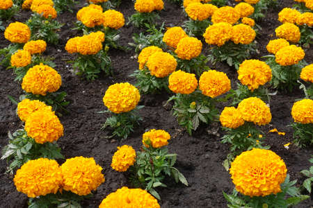 Many bright orange flowers of Tagetes erecta in May
