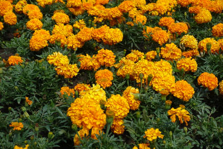 Numerous bright orange flowers of Tagetes erecta in July Foto de archivo