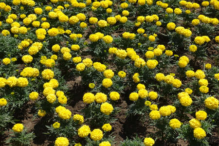 A lot of bright yellow flowers of Tagetes erecta in July Foto de archivo