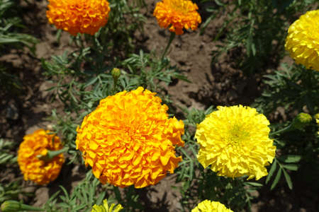 Closeup of orange and yellow flower heads of Tagetes erecta in June