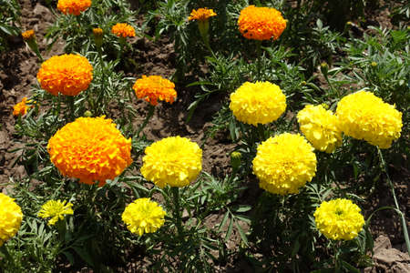 Close shot of yellow and orange flower heads of Tagetes erecta in June Foto de archivo