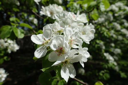 Unpollinated white flowers of pear tree in April
