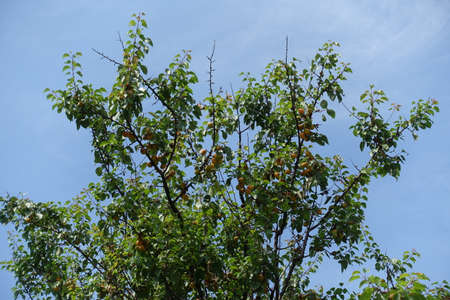 Orange fruits on branches of apricot tree against blue sky in mid July Stockfoto