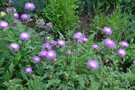 Numerous pink flowers of Centaurea dealbata in mid May