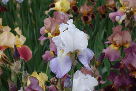One pale violet flower of iris in May Imagens