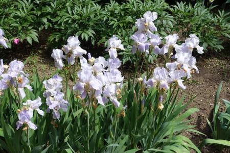 Multiple pale violet flowers of irises in May