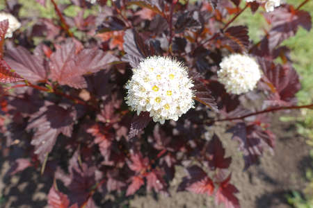 Two corymbs of white flowers of purple leaved Physocarpus opulifolius in May