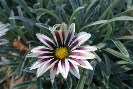 A flower of Gazania rigens 'Big Kiss White Flame' in mid October Stock fotó - 155444543