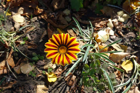 Single flower of Gazania rigens 'Big Kiss Yellow Flame'.