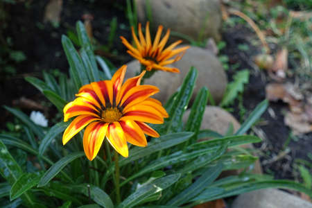 Two flowers of Gazania rigens 'Big Kiss Yellow Flame' in mid October