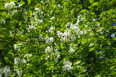 Leafage and white flowers of blossoming apple tree in April
