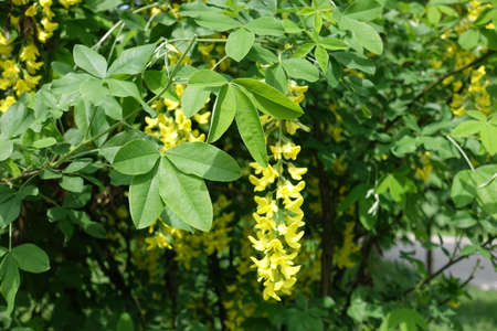 Leaves and yellow flowers of Laburnum anagyroides in mid May