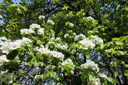 Flowering pear tree in the garden in April