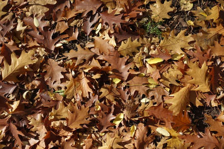 Grass covered with brown fallen leaves of red oak in October 스톡 콘텐츠