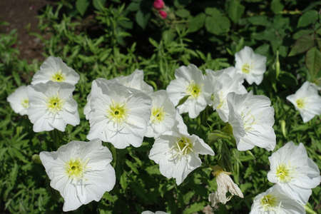 Flowering white Oenothera speciosa in late spring