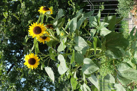 Sunflower with several flower heads in mid July