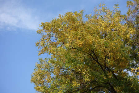 Autumnal foliage of Styphnolobium japonicum against blue sky in mid October