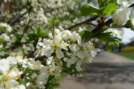 Newly opened white flowers of sour cherry tree in April Banco de Imagens