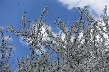 Dozens of white flowers on branches of plum tree against blue sky