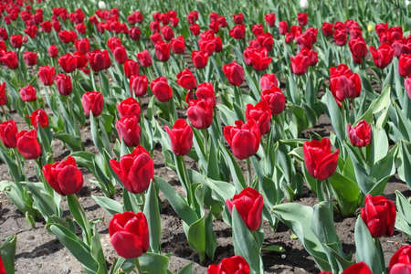 Vivid red flowers of tulips in April
