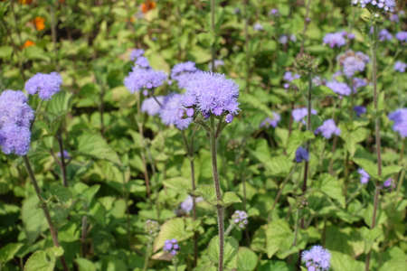 Erect stems with lavender colored flowers of Ageratum houstonianum in July