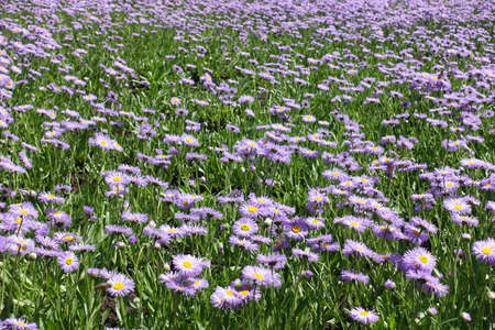 Glade covered with violet flowers of Erigeron speciosus in June